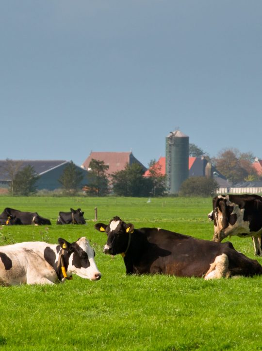 Cows are resting with farm and tractor in backdrop