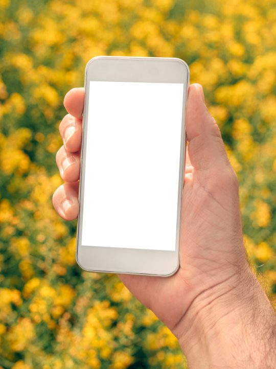 Farmer with smartphone mock up screen in rapeseed field, close up of male hand holding mobile phone with clean blank white screen